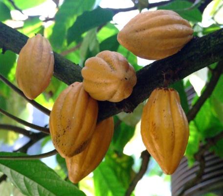 cacao (1)